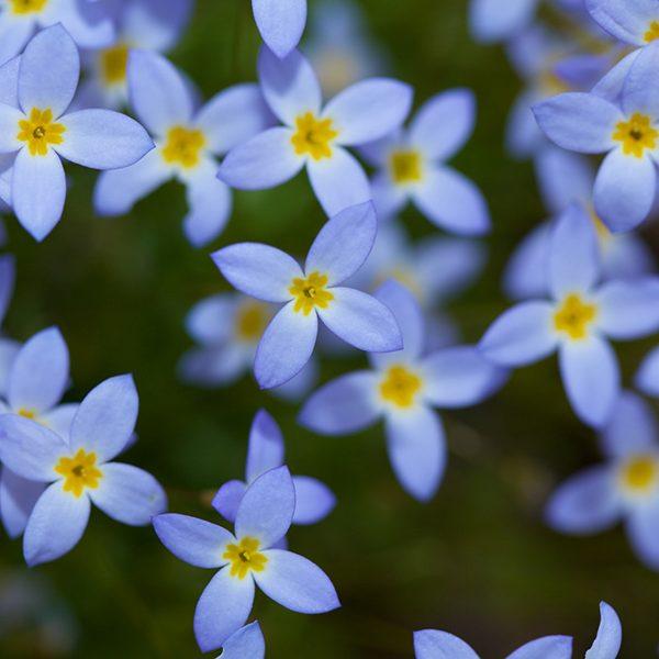 """Wild flower, April-June."""