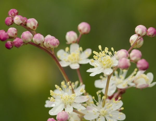 Meadowsweet Flower in Bloom