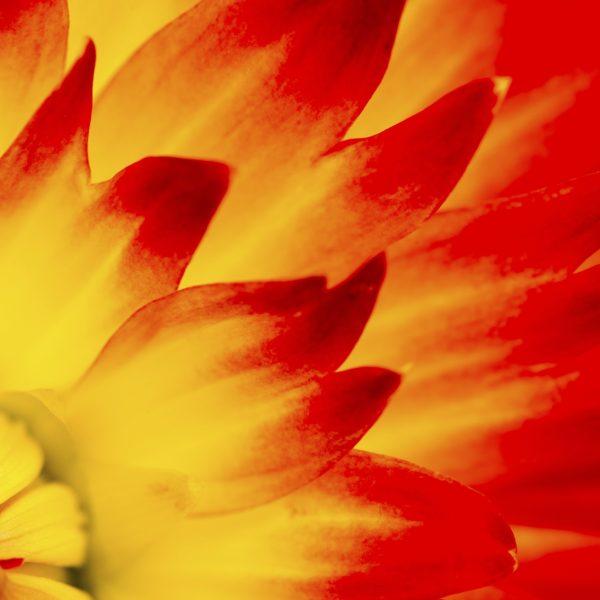 Red Yellow Dahlia Macro